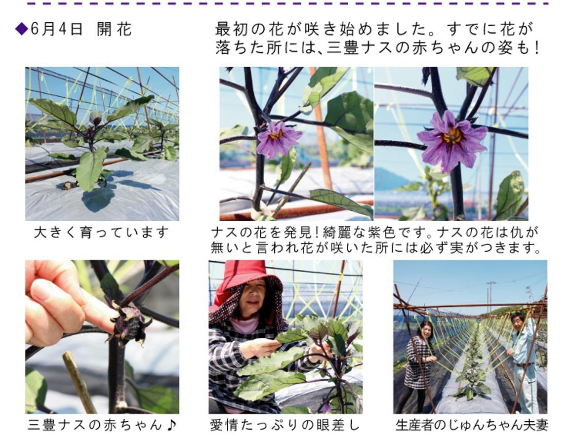 6月4日三豊ナスの花が咲きました
